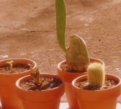 cactus-al-sol