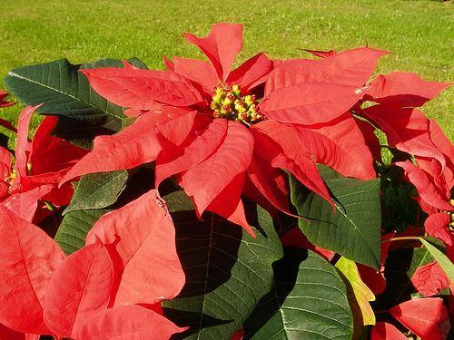 Flores y plantas flor de pascuas o poinsettia for Plantas decorativas con sus nombres
