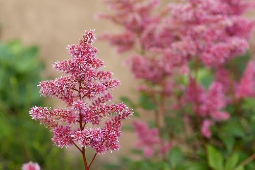 flores-astilbe