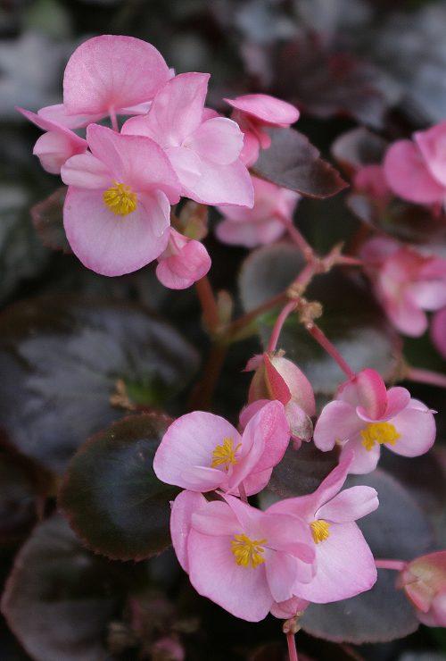 flores-begonia
