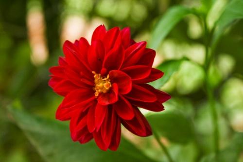 flores-crisantemo