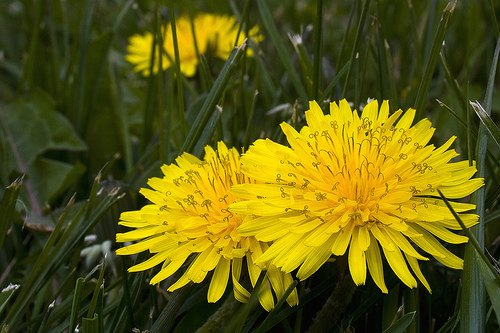 flores-diente-leon