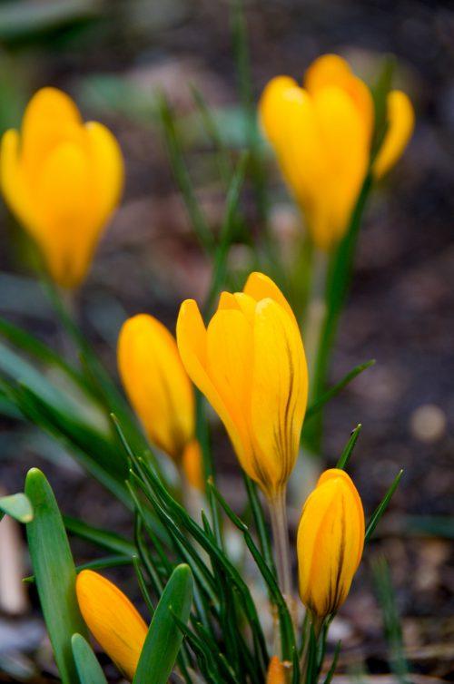 flores-fresia