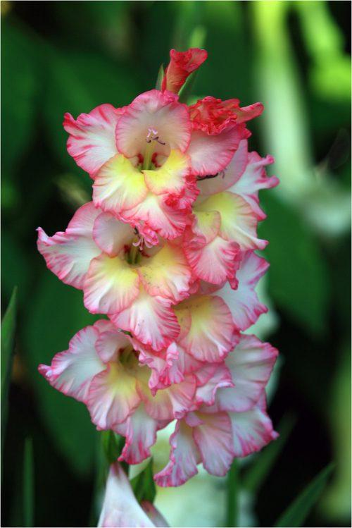 flores-gladiolos