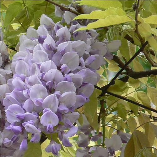 Flores glicina decoracion in for Glicina planta