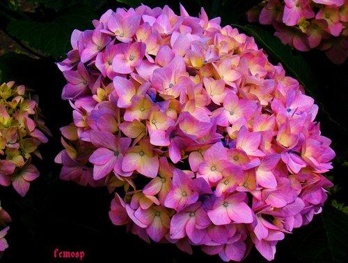 flores-hortensias
