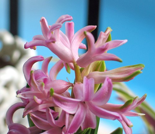 flores-jacinto