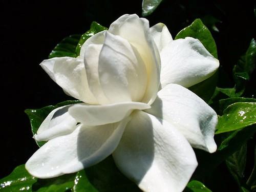 flores-jarzmin