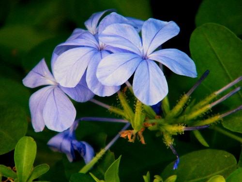 flores-jazmin-azul
