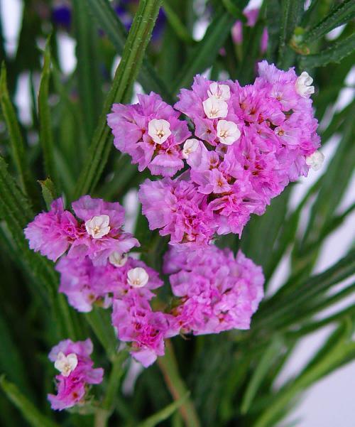 flores-limonium