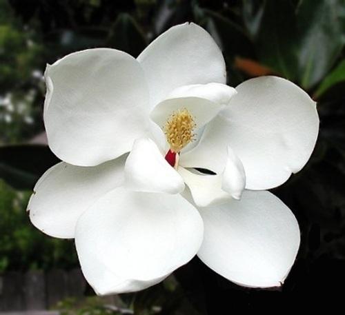 flores-magnolias