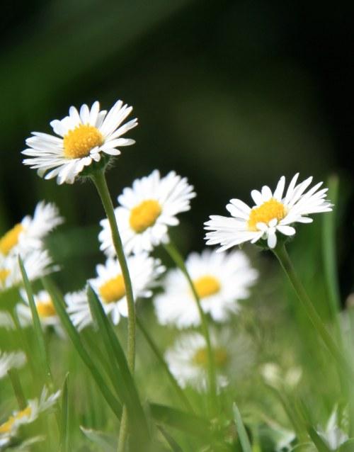 flores-margaritas