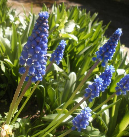 flores-muscari-armeniacum