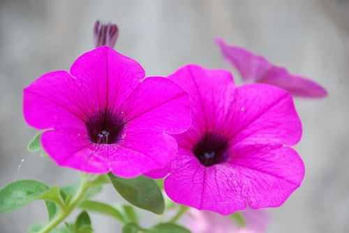 flores-petunias