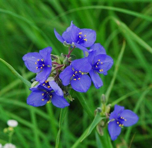 flores-trasdecantia