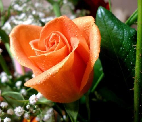 flores-una-rosa
